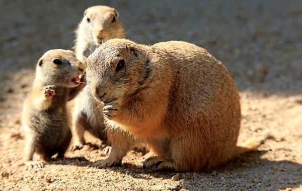 Луговые-собачки-грызуны-Описание-особенности-виды-образ-жизни-и-борьба-с-луговыми-собачками-12