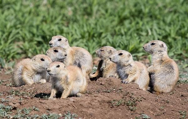 Луговые-собачки-грызуны-Описание-особенности-виды-образ-жизни-и-борьба-с-луговыми-собачками-13