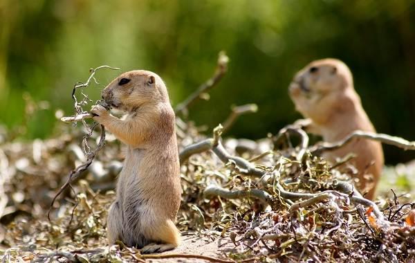 Луговые-собачки-грызуны-Описание-особенности-виды-образ-жизни-и-борьба-с-луговыми-собачками-14