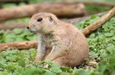 Луговые собачки грызуны. Описание, особенности, виды, образ жизни и борьба с луговыми собачками