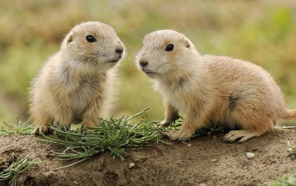 Луговые-собачки-грызуны-Описание-особенности-виды-образ-жизни-и-борьба-с-луговыми-собачками-4