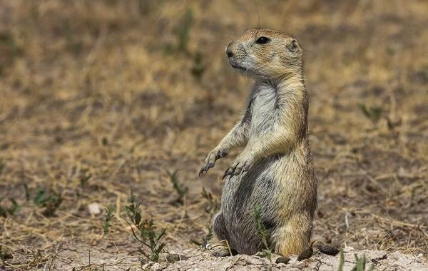 Луговые-собачки-грызуны-Описание-особенности-виды-образ-жизни-и-борьба-с-луговыми-собачками-5