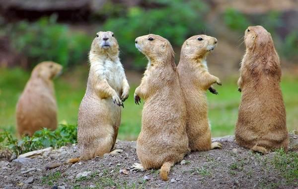 Луговые-собачки-грызуны-Описание-особенности-виды-образ-жизни-и-борьба-с-луговыми-собачками-6