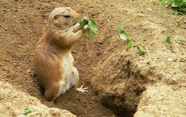 Луговые-собачки-грызуны-Описание-особенности-виды-образ-жизни-и-борьба-с-луговыми-собачками-9
