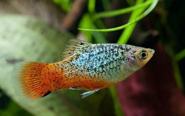 Меченосец-рыбка-аквариумная-Описание-особенности-виды-уход-и-цена-меченосца-10