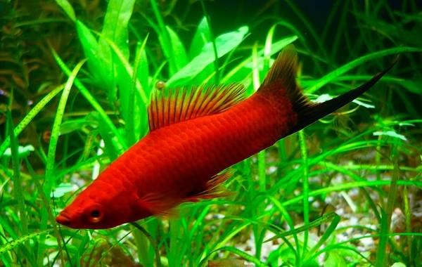 Меченосец-рыбка-аквариумная-Описание-особенности-виды-уход-и-цена-меченосца-13