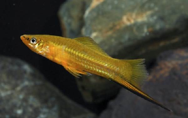 Меченосец-рыбка-аквариумная-Описание-особенности-виды-уход-и-цена-меченосца-15