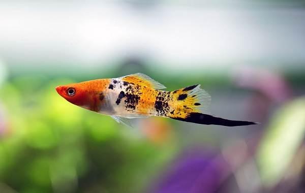 Меченосец-рыбка-аквариумная-Описание-особенности-виды-уход-и-цена-меченосца-16