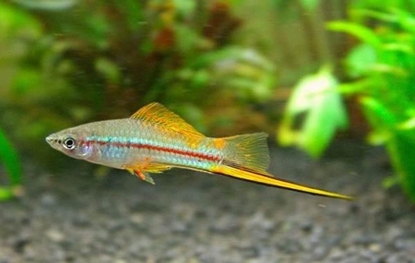Меченосец-рыбка-аквариумная-Описание-особенности-виды-уход-и-цена-меченосца-18