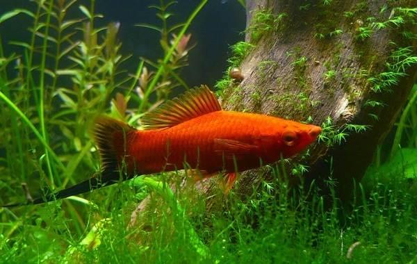 Меченосец-рыбка-аквариумная-Описание-особенности-виды-уход-и-цена-меченосца-20