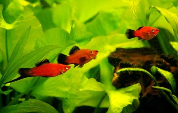 Меченосец-рыбка-аквариумная-Описание-особенности-виды-уход-и-цена-меченосца-24