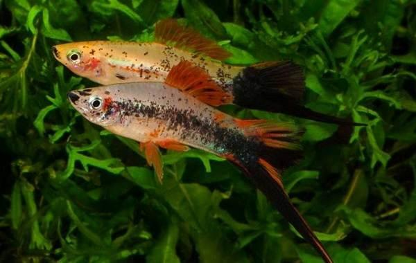 Меченосец-рыбка-аквариумная-Описание-особенности-виды-уход-и-цена-меченосца-26