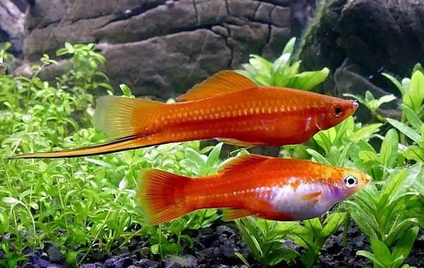 Меченосец-рыбка-аквариумная-Описание-особенности-виды-уход-и-цена-меченосца-3