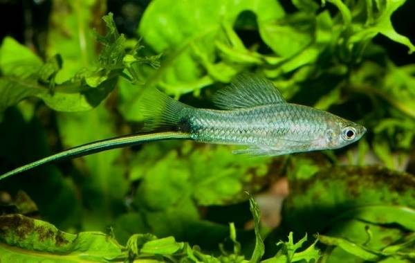 Меченосец-рыбка-аквариумная-Описание-особенности-виды-уход-и-цена-меченосца-4