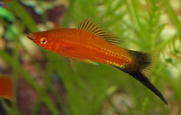 Меченосец рыбка аквариумная. Описание, особенности, виды, уход и цена меченосца