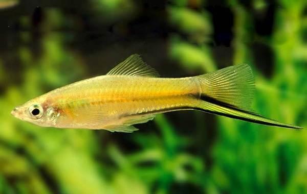 Меченосец-рыбка-аквариумная-Описание-особенности-виды-уход-и-цена-меченосца-6