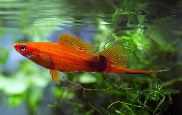 Меченосец-рыбка-аквариумная-Описание-особенности-виды-уход-и-цена-меченосца-7