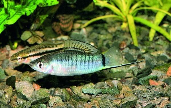 Меченосец-рыбка-аквариумная-Описание-особенности-виды-уход-и-цена-меченосца-8