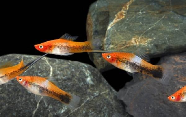 Меченосец-рыбка-аквариумная-Описание-особенности-виды-уход-и-цена-меченосца-9