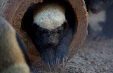 Медоед животное. Описание, особенности, виды, образ жизни и среда обитания медоеда