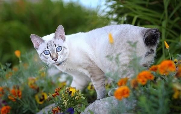 Меконгский-бобтейл-кошка-Описание-особенности-виды-уход-и-цена-породы-меконгский-бобтейл-10
