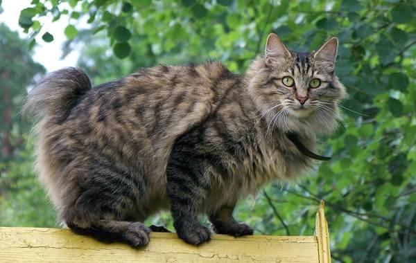 Меконгский-бобтейл-кошка-Описание-особенности-виды-уход-и-цена-породы-меконгский-бобтейл-11