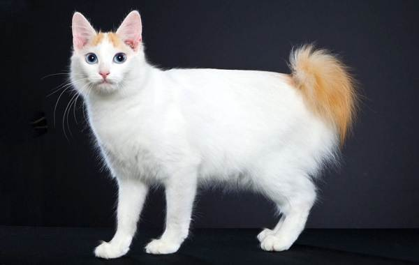 Меконгский-бобтейл-кошка-Описание-особенности-виды-уход-и-цена-породы-меконгский-бобтейл-12
