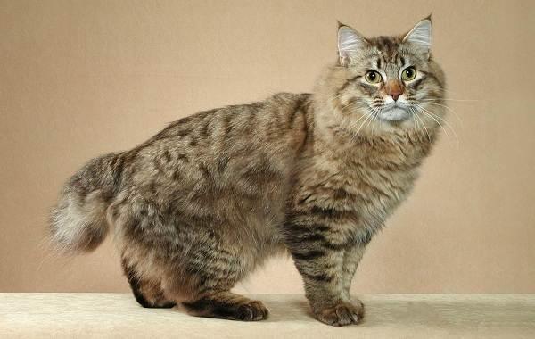 Меконгский-бобтейл-кошка-Описание-особенности-виды-уход-и-цена-породы-меконгский-бобтейл-13