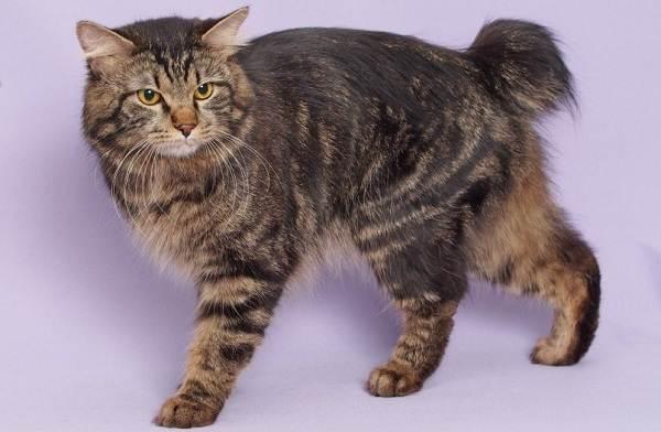 Меконгский-бобтейл-кошка-Описание-особенности-виды-уход-и-цена-породы-меконгский-бобтейл-14