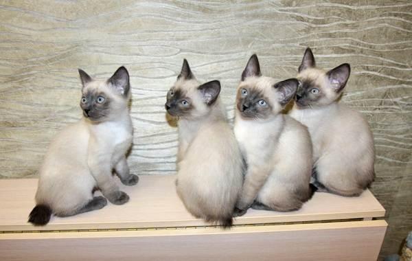 Меконгский-бобтейл-кошка-Описание-особенности-виды-уход-и-цена-породы-меконгский-бобтейл-15