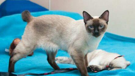 Меконгский бобтейл кошка. Описание, особенности, виды, уход и цена породы меконгский бобтейл