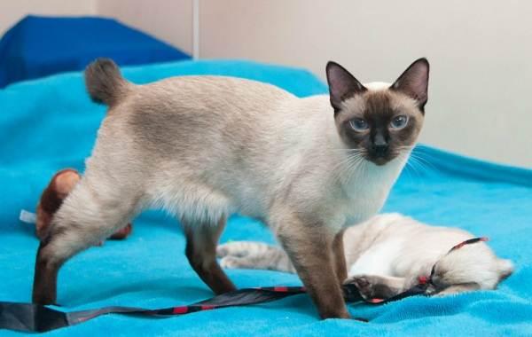 Меконгский-бобтейл-кошка-Описание-особенности-виды-уход-и-цена-породы-меконгский-бобтейл-16