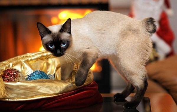 Меконгский-бобтейл-кошка-Описание-особенности-виды-уход-и-цена-породы-меконгский-бобтейл-17