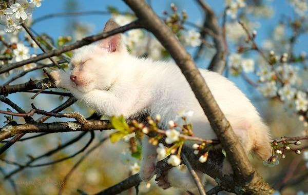Меконгский-бобтейл-кошка-Описание-особенности-виды-уход-и-цена-породы-меконгский-бобтейл-20