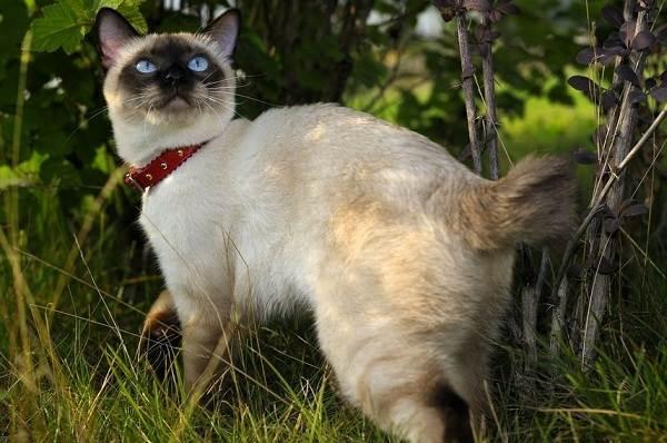 Меконгский-бобтейл-кошка-Описание-особенности-виды-уход-и-цена-породы-меконгский-бобтейл-3