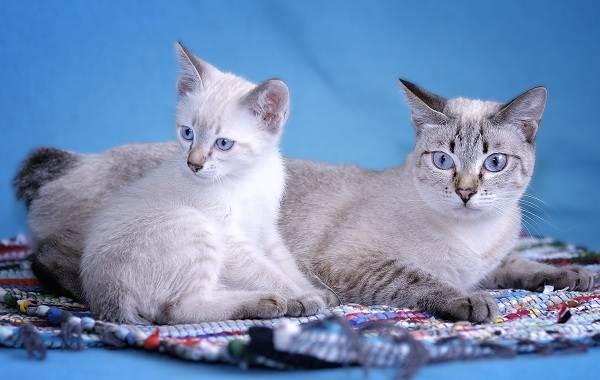 Меконгский-бобтейл-кошка-Описание-особенности-виды-уход-и-цена-породы-меконгский-бобтейл-4