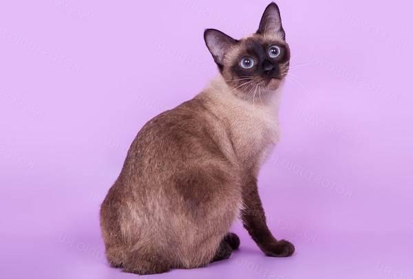 Меконгский-бобтейл-кошка-Описание-особенности-виды-уход-и-цена-породы-меконгский-бобтейл-5