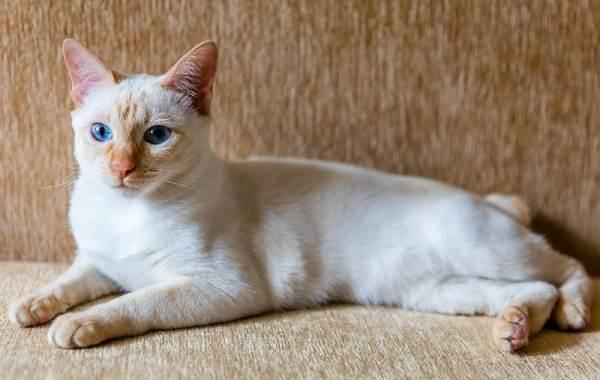 Меконгский-бобтейл-кошка-Описание-особенности-виды-уход-и-цена-породы-меконгский-бобтейл-6