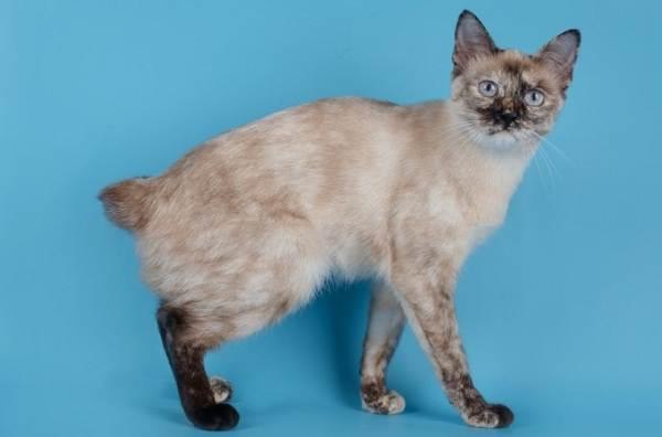 Меконгский-бобтейл-кошка-Описание-особенности-виды-уход-и-цена-породы-меконгский-бобтейл-7