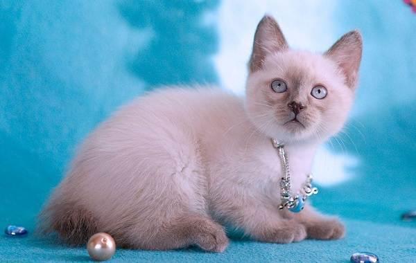 Меконгский-бобтейл-кошка-Описание-особенности-виды-уход-и-цена-породы-меконгский-бобтейл-9