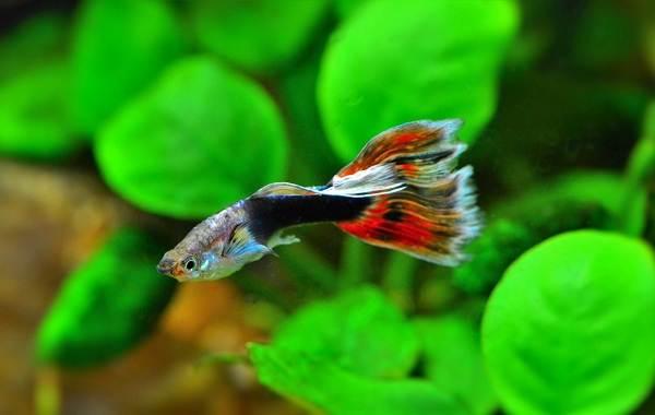 Моллинезия-рыбка-Описание-особенности-виды-уход-совместимость-и-цена-моллинезии-10