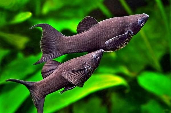 Моллинезия-рыбка-Описание-особенности-виды-уход-совместимость-и-цена-моллинезии-11