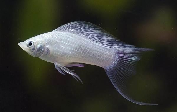 Моллинезия-рыбка-Описание-особенности-виды-уход-совместимость-и-цена-моллинезии-13