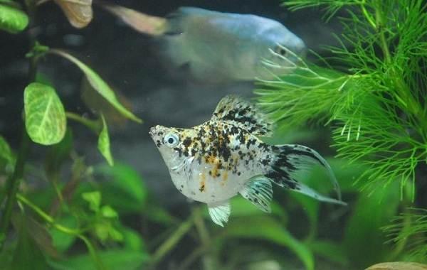 Моллинезия-рыбка-Описание-особенности-виды-уход-совместимость-и-цена-моллинезии-16