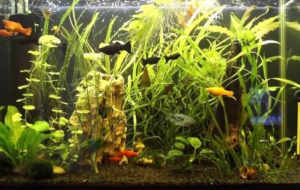 Моллинезия-рыбка-Описание-особенности-виды-уход-совместимость-и-цена-моллинезии-17