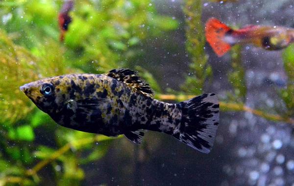 Моллинезия-рыбка-Описание-особенности-виды-уход-совместимость-и-цена-моллинезии-19
