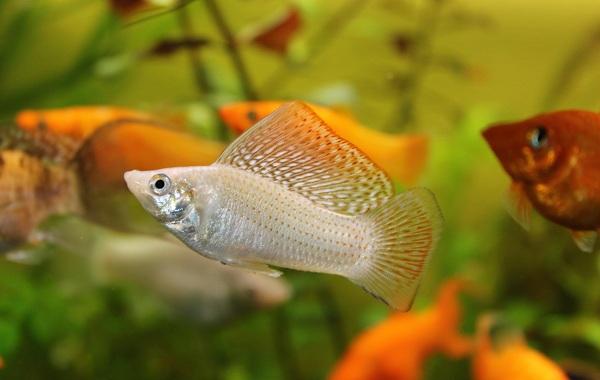 Моллинезия-рыбка-Описание-особенности-виды-уход-совместимость-и-цена-моллинезии-20