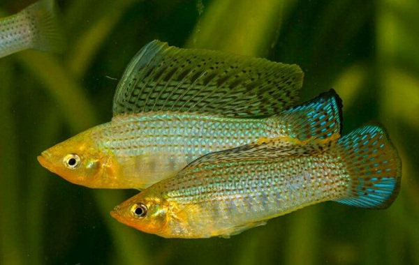 Моллинезия-рыбка-Описание-особенности-виды-уход-совместимость-и-цена-моллинезии-24