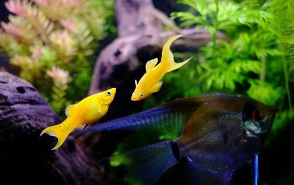 Моллинезия-рыбка-Описание-особенности-виды-уход-совместимость-и-цена-моллинезии-4