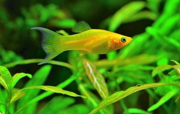 Моллинезия-рыбка-Описание-особенности-виды-уход-совместимость-и-цена-моллинезии-6